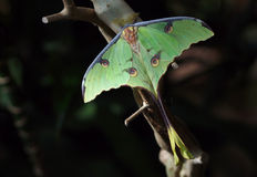 African Moon Moth (Argema mimosae) Stock Photography