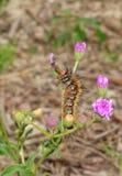 African Moth Caterpillar Stock Images