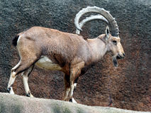 African Mountain Goat Stock Image