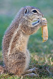 African mountain ground squirrel Stock Image