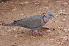 African Mourning Dove Royalty Free Stock Photo
