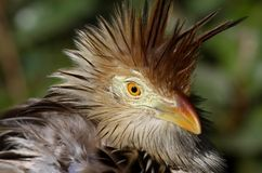 African Mouse Bird. With feathers ruffled up Stock Photo