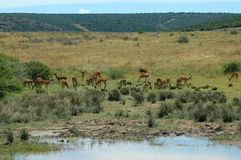 African nature scene. A typical African scene with an Impala antelope herd at the water hole in a game reserve in South Africa Royalty Free Stock Image