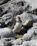 African new born baby penguin Spheniscus demersus on Boulders Beach near Cape Town South Africa relaxing and sleeping royalty free stock photography
