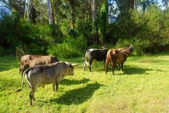 African Nguni bulls walk away Royalty Free Stock Photos