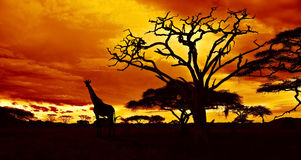 African night. African sunset in the savannah with silhouette of giraffe and dead acacia tree, Tanzania Royalty Free Stock Photos