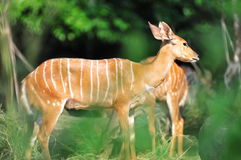 African nyala in its habitat Royalty Free Stock Images