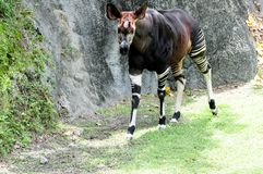 African Okapi walking in zoo Royalty Free Stock Photography