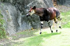 African Okapi Stock Images