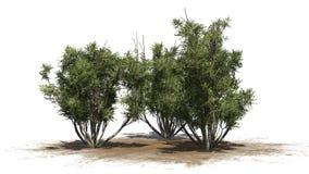 African olive shrubs - isolated on white background Stock Photo