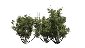 African olive shrubs -  on white background Royalty Free Stock Photo