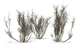 African olive shrubs winter  - isolated on white background Royalty Free Stock Photos