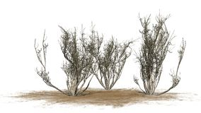African olive shrubs winter  - isolated on white background Royalty Free Stock Photography