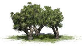 African Olive trees on green area on white background. African Olive trees on green area with shadow - isolated on white background Stock Photos