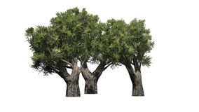 African Olive trees  - isolated on white background Stock Photo