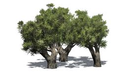 African Olive trees  - isolated on white background. African Olive trees with shadow on white background Royalty Free Stock Photography