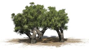 African Olive trees on sand area - isolated on white background. African Olive trees with shadow African Olive trees on sand area on white background Royalty Free Stock Photo