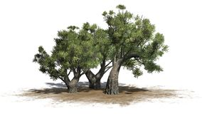 African Olive trees on sand area on white background Stock Images