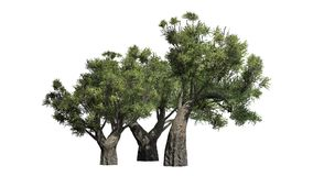 African Olive trees on white background Royalty Free Stock Photo