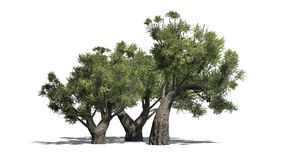 African Olive trees on white background. African Olive trees with shadow - isolated on white background Stock Image