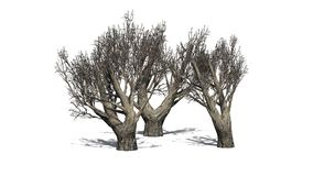African Olive trees in the winter on white background Royalty Free Stock Images