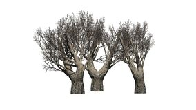 African Olive trees in the winter on white background Royalty Free Stock Photography