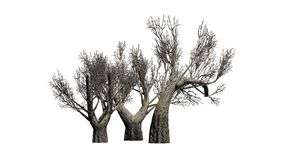 African Olive trees in the winter on white background Stock Photography