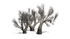 African Olive trees in the winter on white background Royalty Free Stock Photos