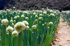 African Onion Farm Royalty Free Stock Image