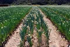 African Onion Farm. A field of green onion plants bushes on a farm in the Karoo, South Africa Stock Image