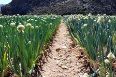 African Onion Farm Stock Photos