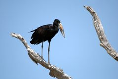 African open-billed stork, Selous N. P., Tanzania Royalty Free Stock Photography