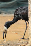 African openbill Stock Image