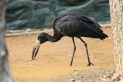 African openbill Stock Images