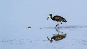 African openbill in the river in Kruger National park Royalty Free Stock Photo