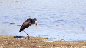 African openbill in the river in Kruger National park Stock Images