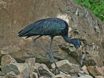 African Openbill in stony back Stock Images