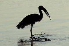 African openbill stork Royalty Free Stock Photography