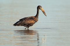African openbill stork Stock Image