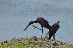African openbill stork (Anastomus lamelligerus) Stock Image