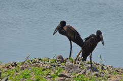 African openbill stork (Anastomus lamelligerus) Stock Images