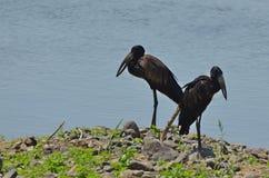 African openbill stork (Anastomus lamelligerus) Stock Images