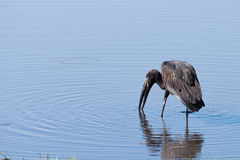 African Openbill Stork fishing. African Openbill Stork (Anastomus lamelligerus) searching for food in a river, Botswana, 2015 Royalty Free Stock Images
