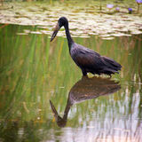 African openbill stork Royalty Free Stock Image