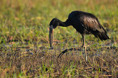 African Openbill Stock Photography