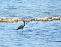 African Openbill in water scenery Royalty Free Stock Image