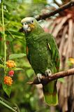 African Orange Winged Parrot Stock Image