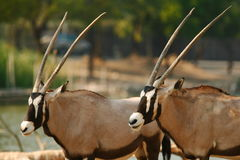 African Oryx Stock Images