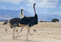 African ostrch with their chiks, Eilat Royalty Free Stock Photo