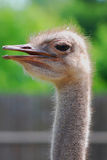 The African ostrich Royalty Free Stock Photo